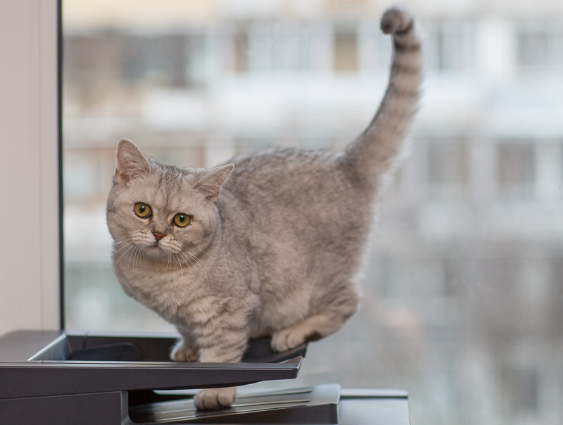 британская кошка котенок фото