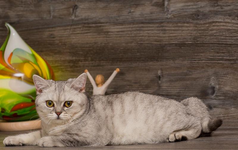серая британская кошка фото