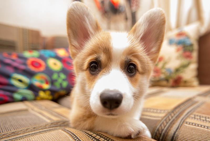 корги фото щенок