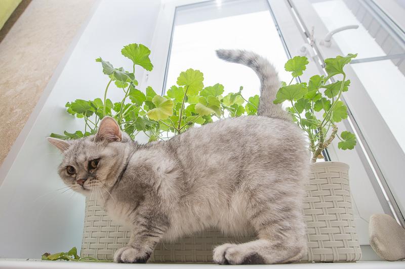 британская кошка серая фото