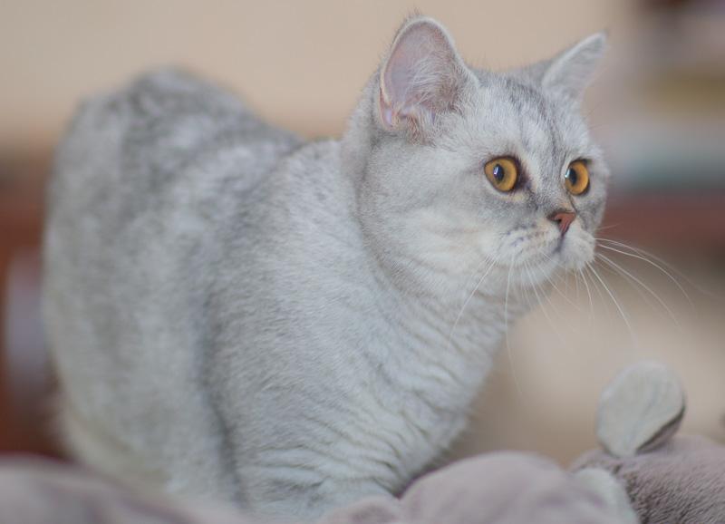 британская кошка фото